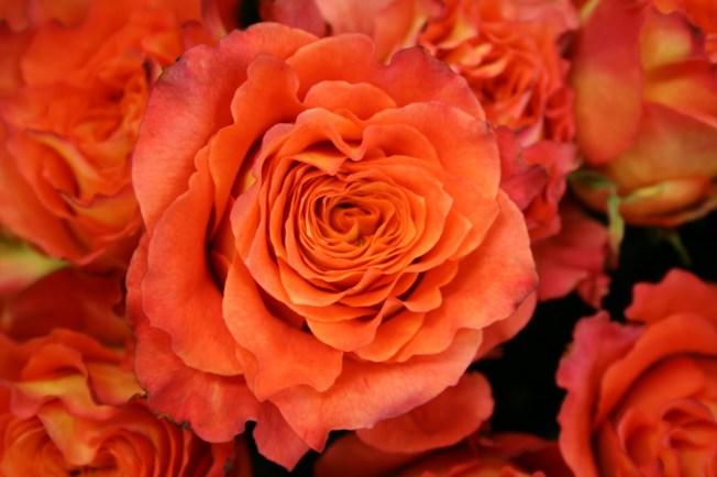 tropicana roses